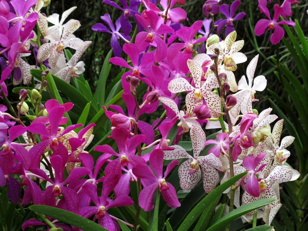 Merveilleux Singapore Orchid Garden Orchid Pathway Orchids [Singapore U2013 Singapore Orchid  Gardens]